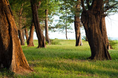 Pine tree forest near the sea,Thailand Royalty Free Stock Photo