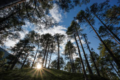 Pine tree forest in norway Stock Photos