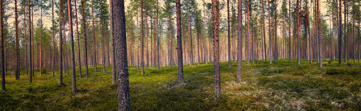 Pine tree forest panorama. Panoramic photo of a Finnish pine forest in midsummer. ground is covered in moss stock photography
