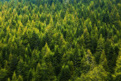 Pine Tree Forest. Photo from high to Pine Tree Forest Royalty Free Stock Images