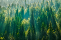 Pine Tree Forest. Photo from high to Pine Tree Forest Stock Photo
