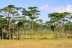 Pine tree forest at Phu Soi Dao National Park, Thailand Royalty Free Stock Photos