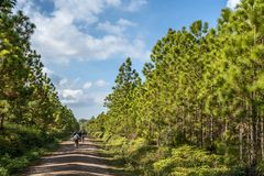 Pine tree forest. At Phukradueng, Loei province, National park in Thailand stock images