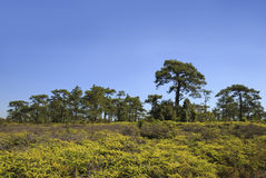 Pine tree in forest Stock Photography