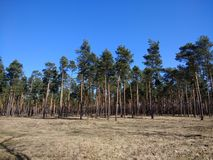 Pine tree forest pine tree cultivation Europe. Pine tree forest cultivation europe agro poland royalty free stock photo