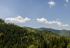 Pine Tree Forest. In Rhodope Mountains in Bulgaria royalty free stock photo