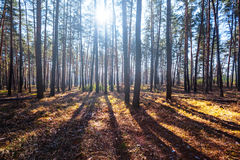 Pine tree forest in a rays of sun Stock Images