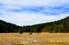 Pine tree forest. In Rhodope Mountains in Bulgaria royalty free stock photos
