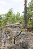 Pine tree forest and rocks Stock Images