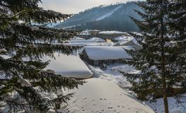 Pine tree forest in winter. Pine tree forest with snow at sunny day in winter stock photo
