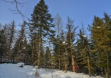 Pine tree forest in winter. Pine tree forest with snow at sunny day in winter stock photos