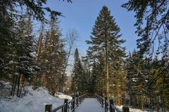 Pine tree forest in winter. Pine tree forest with snow at sunny day in winter royalty free stock photography