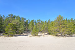 Pine tree forest. Royalty Free Stock Image