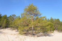 Pine tree forest. Stock Images