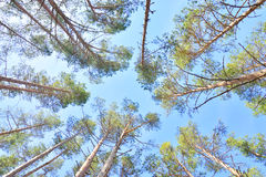 Pine tree forest. Stock Photos