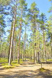 Pine tree forest. Stock Image