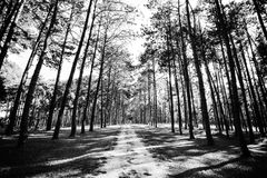 Pine tree forest at spring sunny day. Pine tree road way tunnel Stock Image