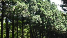 Pine tree forest at summer in Jeju, South Korea.  stock video