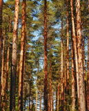 Pine Tree Forest Royalty Free Stock Photography