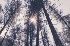 Pine tree forest and sun. Pine tree forest with sun Royalty Free Stock Photography