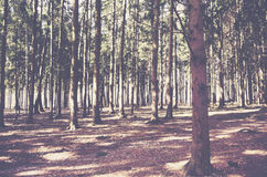 Pine tree forest at sunny autumn day. Landscape Royalty Free Stock Image
