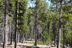 Pine tree forest. On a sunny day Royalty Free Stock Photos
