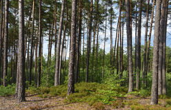 Pine tree forest in sunny day Royalty Free Stock Images