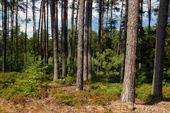 Pine tree forest in sunny day Royalty Free Stock Photography