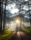 Pine tree forest at the sunrise Stock Photos