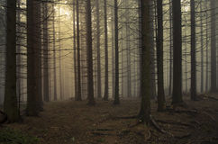 Pine tree forest at sunset Royalty Free Stock Photos