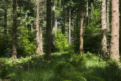 Pine Tree Forest. In Surrey Hills, England, UK Stock Photo