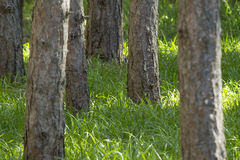 Pine tree forest with tall green grass is tick season in the dee Stock Image