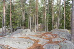 Pine tree forest on top of rocky ground Royalty Free Stock Images