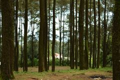 Pine forest at mount ungaran stock image