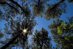 Pine tree forest under a Star-shaped sun Royalty Free Stock Images