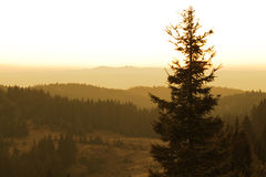 Pine tree with forest view in the background Royalty Free Stock Images