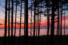 Pine tree forest. View on Baltic sea through tree trunks in pine forest after sunset Royalty Free Stock Photos