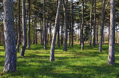 Pine Tree Forest. A view from inside the pine tree forest on a sunny morning Royalty Free Stock Photo