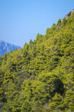 Pine-tree forest Royalty Free Stock Photography