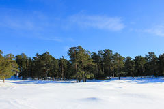 Pine-tree forest winter. Pine trees forest snow winter landscape royalty free stock photography