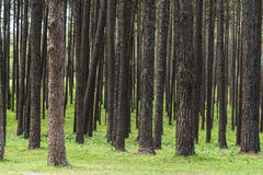 Pine tree forest. Stock Photography