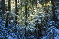 Pine tree forest during winter Stock Image