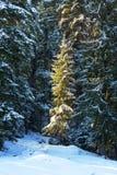 Pine tree forest during winter. Sun light coming on a pine tree in a forest during winter Stock Images