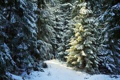 Pine tree forest during winter. Sun light coming on a pine tree in a forest during winter Stock Photos