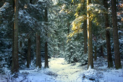 Pine tree forest during winter. Sun light coming on a pine tree in a forest during winter Royalty Free Stock Photo