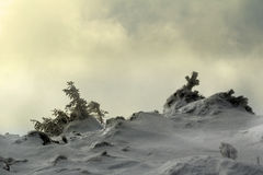 Pine tree forest during winter. Sun light coming on a pine tree in a forest during winter Royalty Free Stock Photography