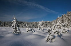 Pine tree forest in winter. Scenic view of snow covered pine tree forest in winter with blue sky background Royalty Free Stock Photography