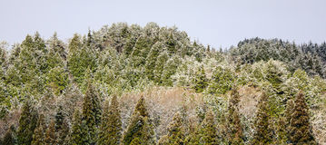 Pine tree forest at the winter in Aomori, Japan Royalty Free Stock Image