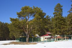 Pine tree forest in winter. Pine tree forest and houses in winter on a bright sunny day Royalty Free Stock Images