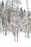 Pine tree forest at winter. KAVGOLOVO, RUSSIA - 17 JANUARY 2017: Winter landscape in pine tree forest with cross-country skiing, Karelian isthmus Royalty Free Stock Image